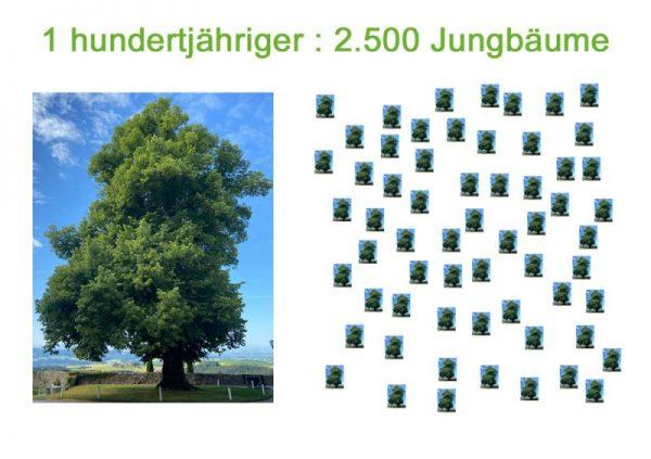 ein hundertjähriger Baum... und sein Ersatz...